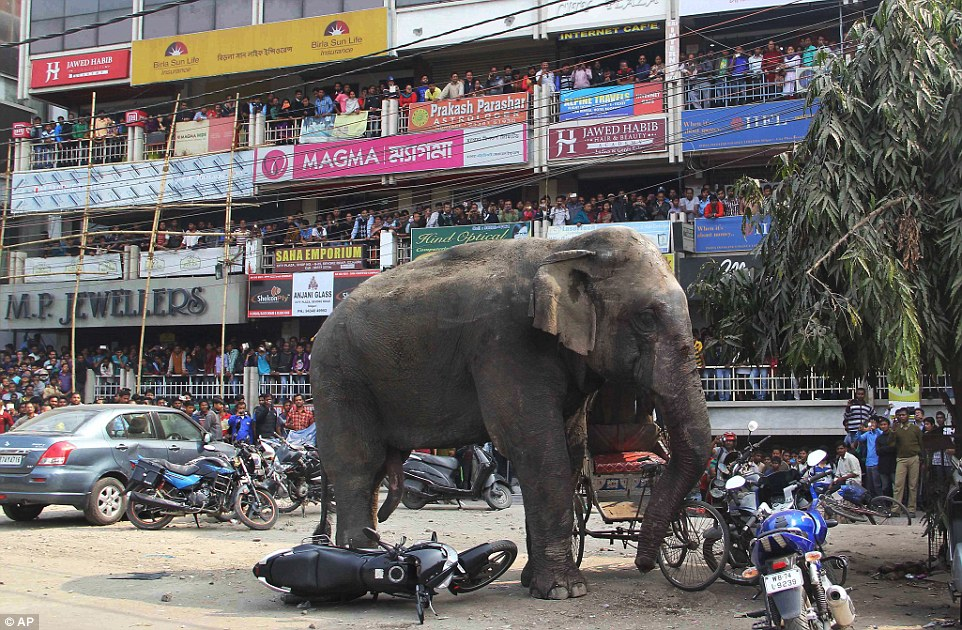 Taken down: It took several rounds with a tranquilliser gun to stop the elephant in its tracks, as crowds of people gathered to watch from balconies and roof tops