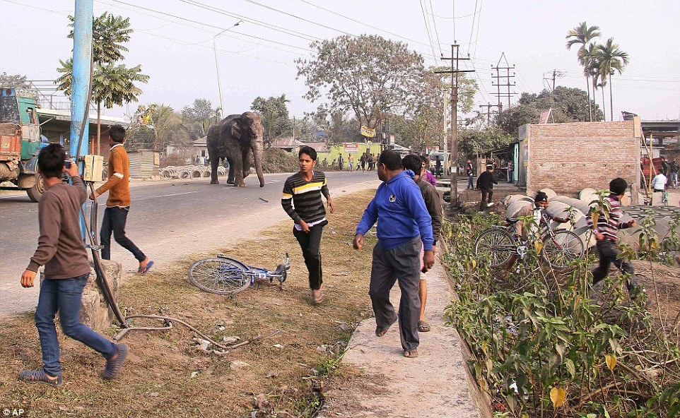 Big animal: The female elephant also smashed homes and knocked over huts in a nearby village